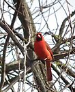 Cardinal in Spring by Deb Fedeler