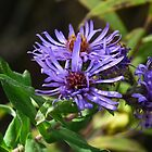 Three Purple Asters by Deb Fedeler
