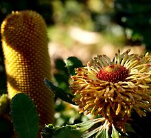 Banksia epica (3) by kalaryder