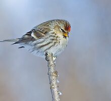 Common Redpoll (Female) by Wayne Wood