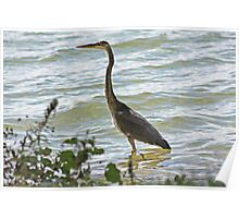 Wading Great Blue Heron Poster