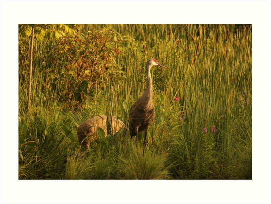 Sandhill Cranes on shore of Lake by Thomas Murphy
