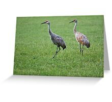 Sandhill Cranes in Grass Field Greeting Card