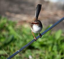 Fairywren - Ballina Northern NSW by OzNatureshots
