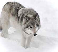 Timber Wolf aka Grey Wolf by Poete100