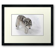 Timber Wolf aka Grey Wolf Framed Print