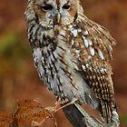 Tawny Owl by Lisa  Baker-Richardson