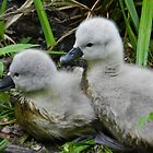 Double Trouble Baby Cygnets. by kelly-m-wall