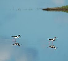 Black Necked Stilts - MINWR by flbikerchick