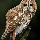 Tawny Owl by Gary Richardson