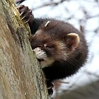 Polecat Gnawing by Christopher Lloyd