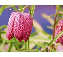 Purple flower drop. Photographic Print