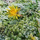 New Year Frost, 7 by Alice Schuerman