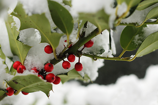 Holly & Snow by Tracy Friesen