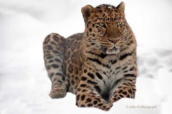 The Amur Leopard in his element 2 by John44