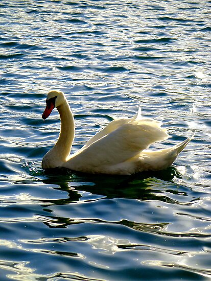 Swan, Lake Bled, Slovenia by christazuber