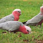 Galahs - Kensington Park, South Australia by Dan & Emma Monceaux