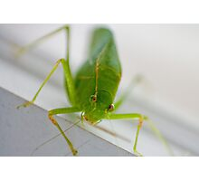 Katydid Photographic Print