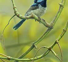"""""""Whistling the Blues"""" Superb Blue Wren by Christopher Pope"""