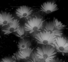 African Daisy Flowers In Black And White by SmilinEyes