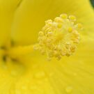 Yellow Hibiscus 1 by Dawne Dunton