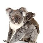 A koala Happy Birthday 1P by Gerry Pearce