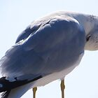 Pretty Preening Seagull by AuntDot