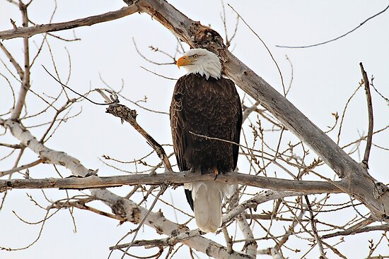 American Bald Eagle by utahwildscapes