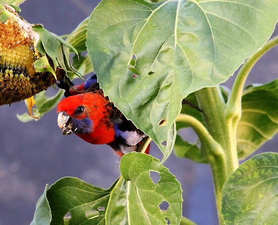 If I stay here she will not know its me  Crimson Rosella by Kym Bradley
