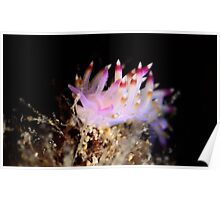 Flabellina sp Poster