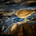 Wandering Tattler by Tony Steinberg