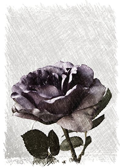A Sketched Rose by Sherry Hallemeier
