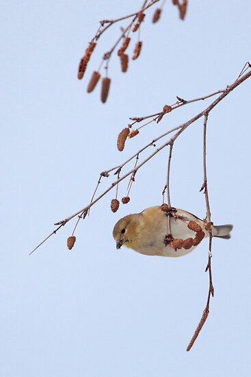 Goldfinch in Birch ~ by Renee Blake