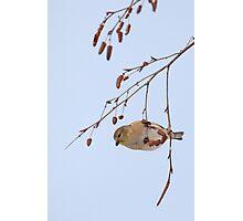 Goldfinch in Birch ~ Photographic Print