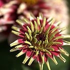 Unusual Beauty - White Zinnia by Joy Watson