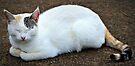Sleepy Cat by tropicalsamuelv