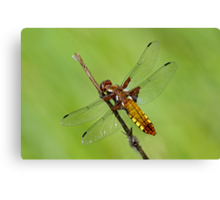 Broad-bodied Chaser Canvas Print