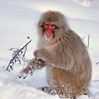 Snow monkey in winter by Istvan Hernadi