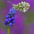 Grape hyacinth Orange-tip  by Gary Richardson