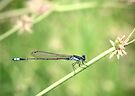 Bluetail Damselflie by Melissa Dickson