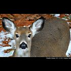 Odocoileus Virginianus - White-Tailed Doe by © Sophie W. Smith