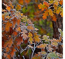 Colored Oaks Photographic Print