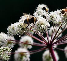 Busy Bees- Wychwood Garden, Mole Creek, Tasmania by PepperPotPics