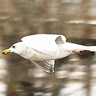 Gull, Nisqually Basin by Cindy-Lou Holland