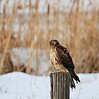 Female Northern Harrier Hawk by Mavourneen Strozewski