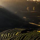 Good Morning tea farm by arthit somsakul