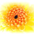 Yellow Dhalia by Ra12