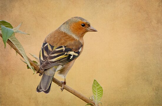 Chaffinch by M.S. Photography & Art