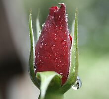 Rain drops on Roses... by Estell