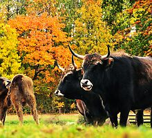The bullocks and a steer by amira